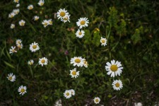 Marguerite flowers In Slovenia