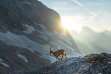Ibex on Triglav with sun