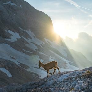Ibex on Triglav with sun