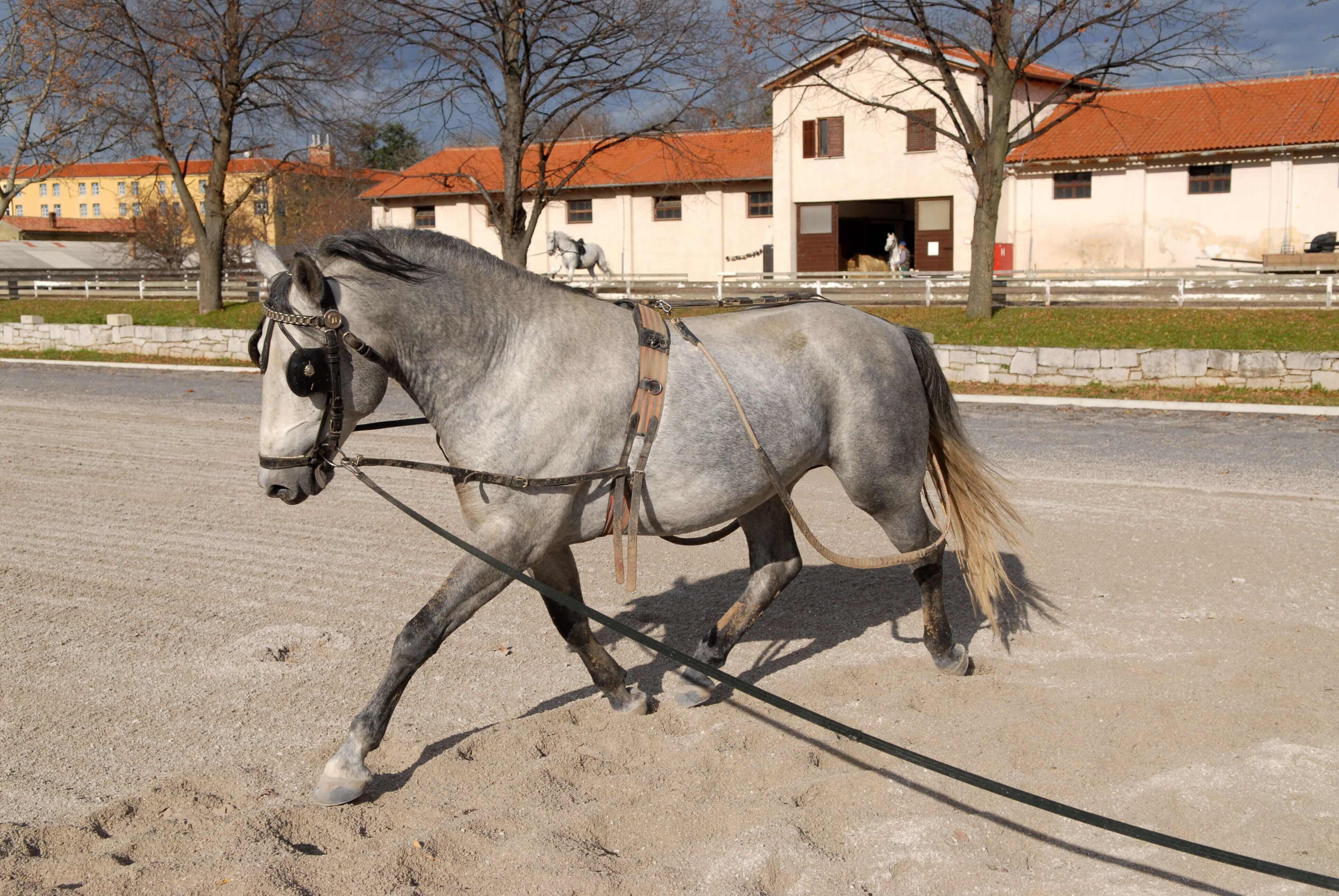 Lipica parade horse